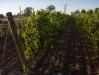 vineyard-002_0.jpg
