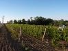 vineyard-11.jpg