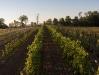 vineyard-6.jpg